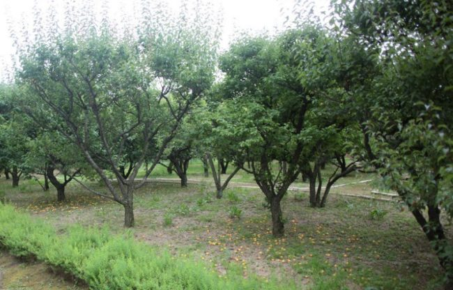 Фото сливового сада на территории фермерского хозяйства Северо-Западного региона России