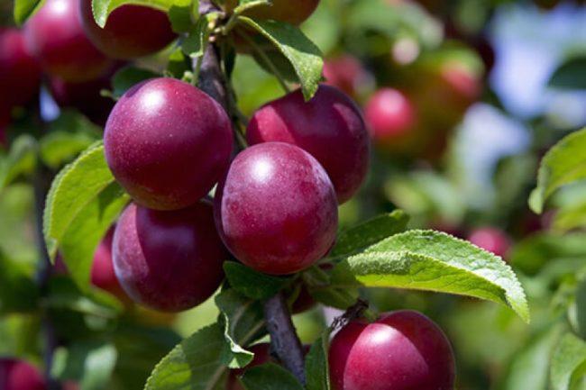 Покровная окраска плодов сливы селекционного сорта Красный шар