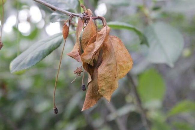 Сухие листья на ветке сливового дерева перед санитарной обрезкой