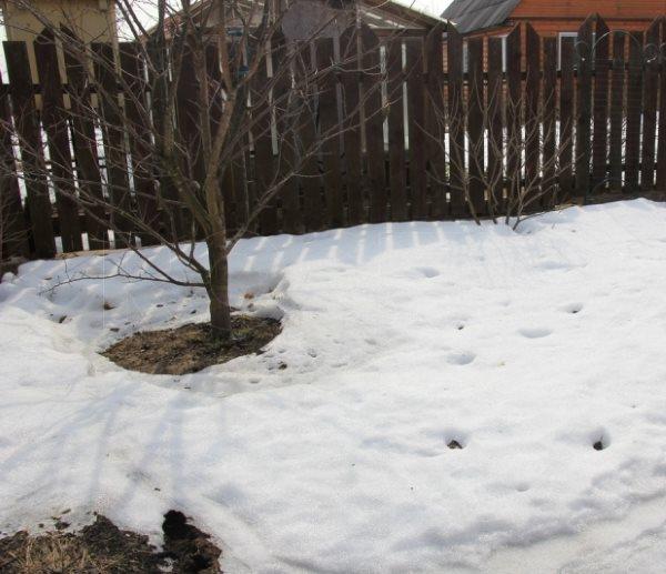 Таяние снега в приствольном круге сливы перед деревянным забором
