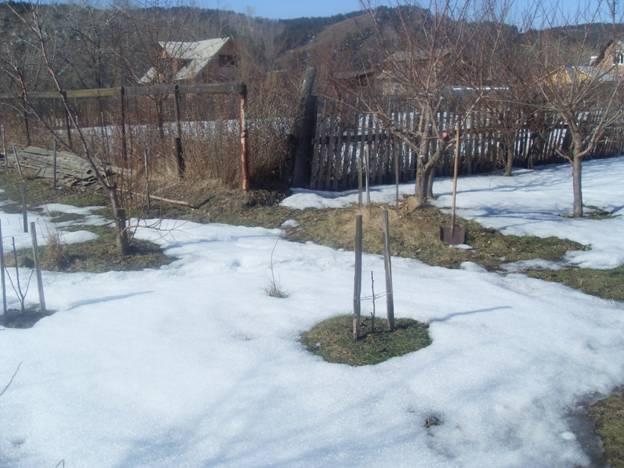Таяние снега в саду со сливами, растущими на холмиках в условиях Сибири