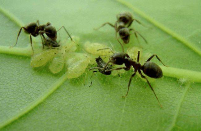 Мелкие черные муравьи и зеленая тля на обратной стороне листа сливы