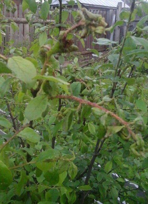 Скрученные листья на макушках сливового дерева при нападении тли