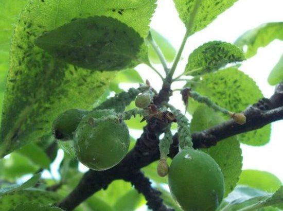 Признаки поражения сливового дерева зеленой тлей в середине лета