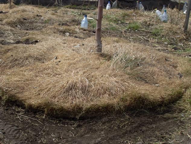 Выращивание травы полевицы в приствольном круге плодового дерева