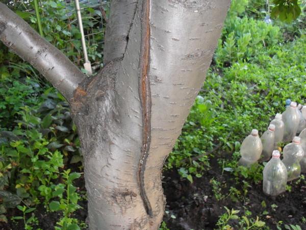 Длинная трещина на коре сливового дерева в частном саду