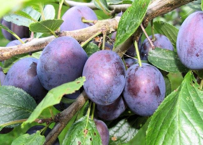 Вытянутые плоды гибридной сливы сорта Тульская черная с восковым налетом на кожице