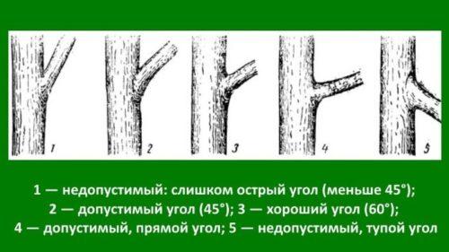 Схема углов отхождения основных скелетных веток в кроне сливового дерева