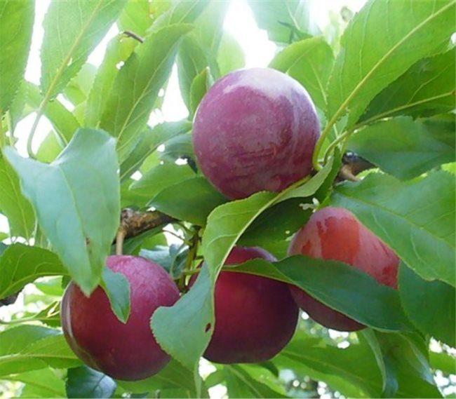 Плоды среднего размера на ветке сливы сорта Уральская красная