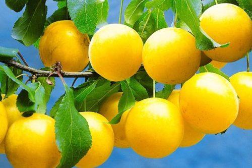 Красивые плоды сливы гибридного сорта Уральская желтая вблизи