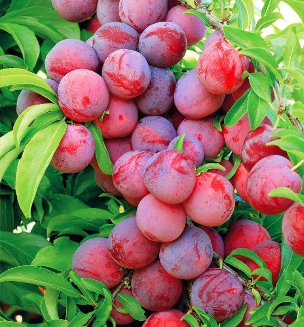 Обильный урожай сливы на ветке сорта Сеянец красного шара