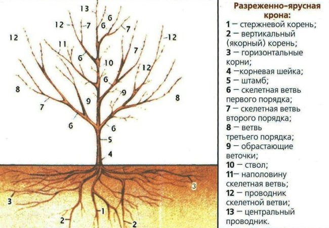 Схема кроны сливы разреженно-ярусного типа с указанием ветвей по ярусам