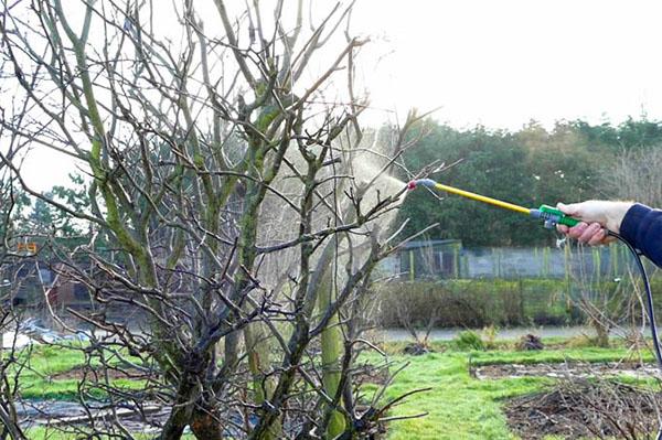 Первая весенняя обработка плодового сада раствором медного купороса