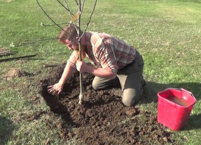 Посадка трехлетнего саженца яблони садоводом и ведро с водой для полива