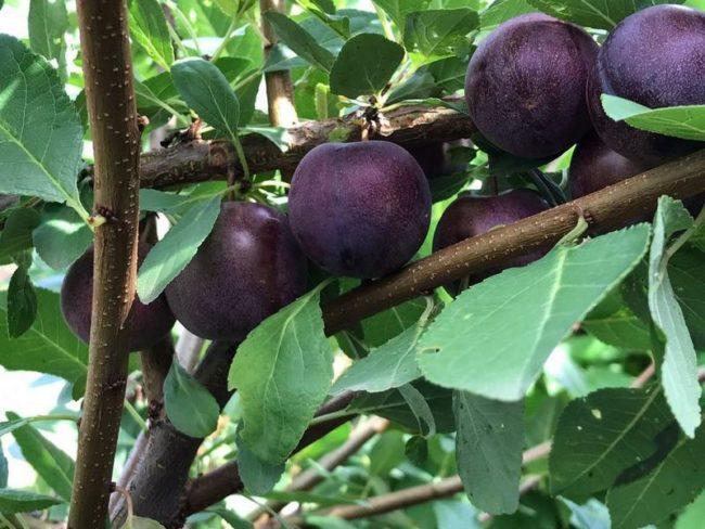 Плоды темно-бардового окраса на ветках вишнево-сливового гибрида Опата