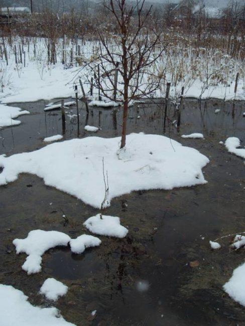 Резкое таяние снежного покрова на садовом участке со сливами в Западной Сибири