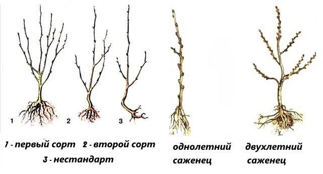 Разновидности и выбор саженца сливы с открытой корневой системой