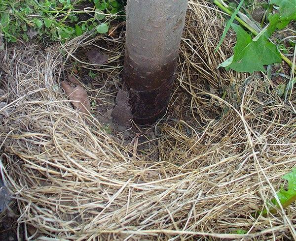 Выпревание нижней части ствола сливы при выращивании в Сибири
