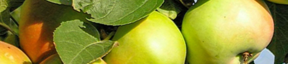 Созревающие плоды колоновидного сорта Янтарное ожерелье