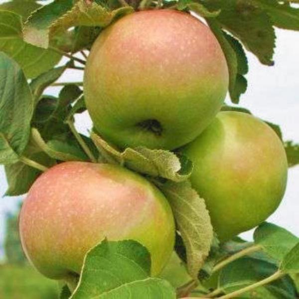 Спелые яблоки отечественного сорта Янтарное ожерелье на колоновидном деревце