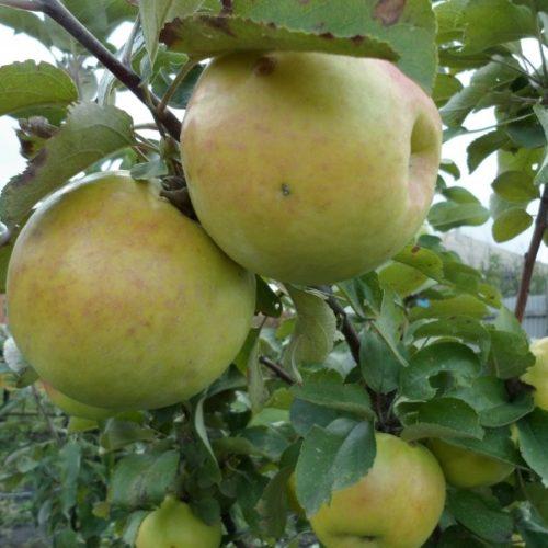 Зеленоватые плоды яблони гибридного сорта Янтарное ожерелье