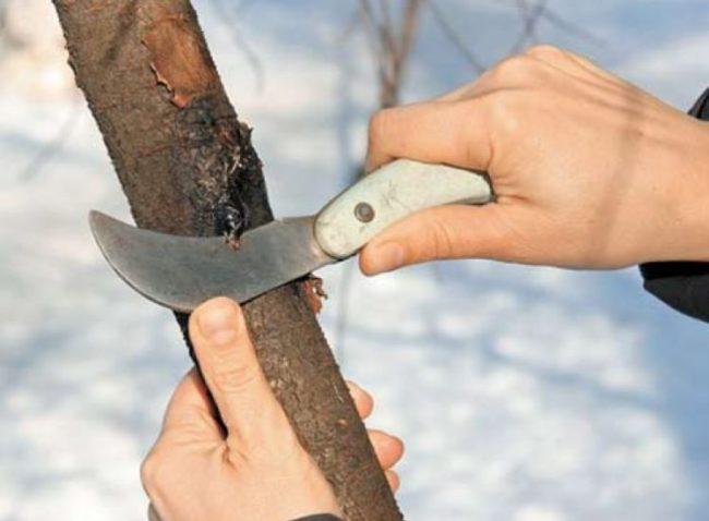 Зачистка садовым ножом треснутой коры на стволе сливы ранней весной