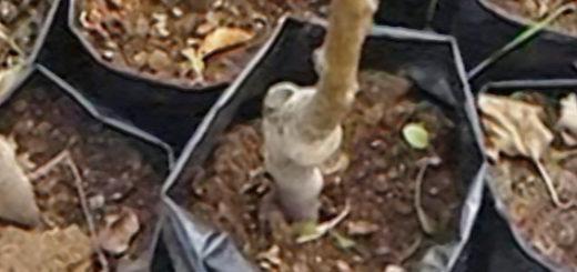 Закрытая корневая система у яблонь несколько штук в посадочной ёмкости