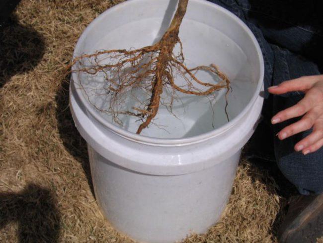 Замачивание корней сливы в пластиковом ведре с водой перед посадкой