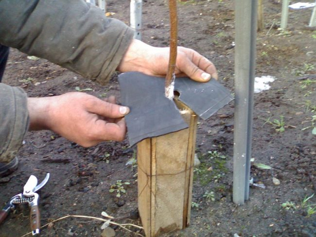 Деревянный короб вокруг ствола молодой сливы для защиты от выпревания