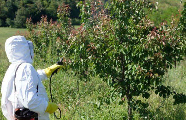 Обработка плодового сада от тли в белом защитном костюме