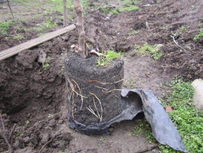 Яблоневый саженец с закрытой корневой системой перед посадкой на постоянное место