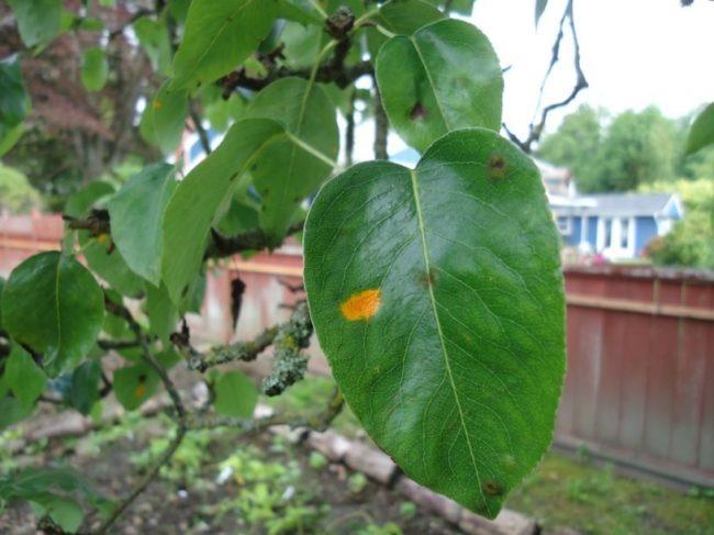 Небольшое желтое пятнышко на листе яблони ярко-зеленой окраски