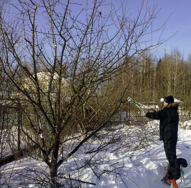 Зимняя обрезка старого дерева сливы в Краснодарском крае России