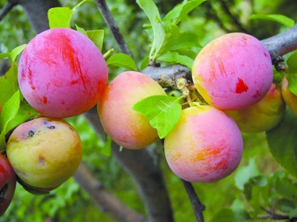 Небольшие плоды сливы сорта Алтайская юбилейная красно-желтого оттенка