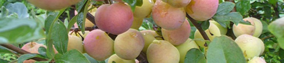 Созревающие плоды сливы Алтайская Юбилейная
