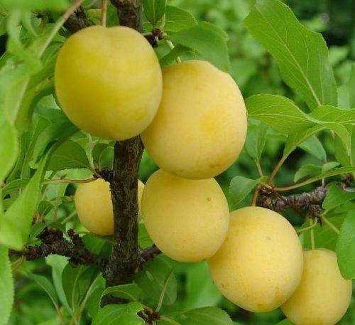 Внешний вид плодов алычи сорта Подарок Санкт-Петербургу светло желтого цвета