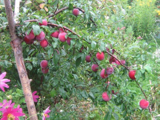 Нагнувшаяся под тяжестью плодов ветка русской сливы сорта Путешественница