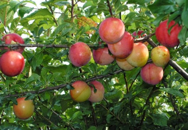 Розово-красные плоды сливы сорта Алыча Ранняя на ветке взрослого дерева