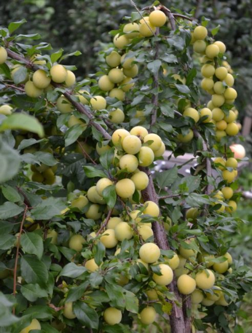 Крупные сливы желто-зеленого цвета на ветках дерева сорта Сонейка