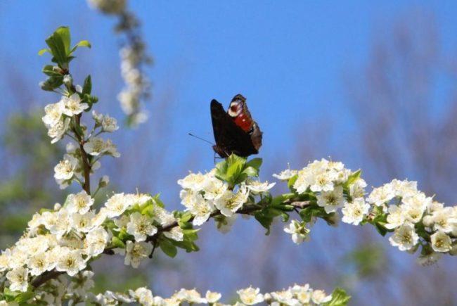 Первая весенняя бабочка на цветущей ветке садовой сливы