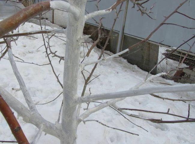 Беленные известковым раствором ветки молодой сливы в зимнее время