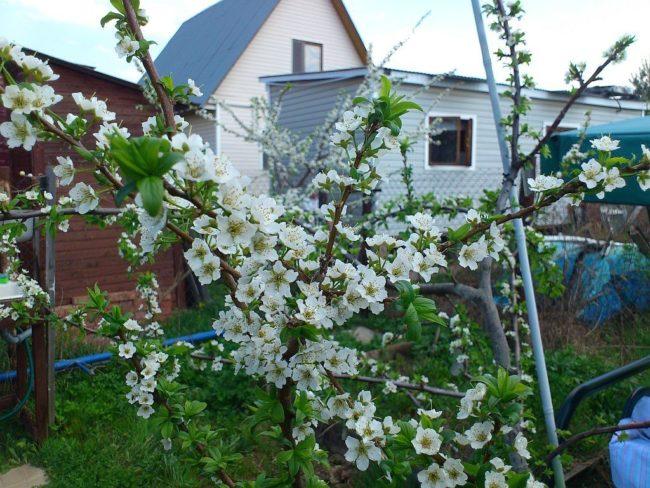 Ветка самоплодной сливы во время весеннего цветения на дачном участке