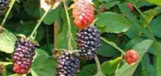 Созревающие плоды Ежевики Бжезина на кусте