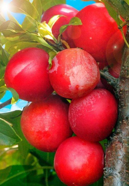 Внешний вид плодов сливы гибридного сорта Михальчик в стадии съемной спелости