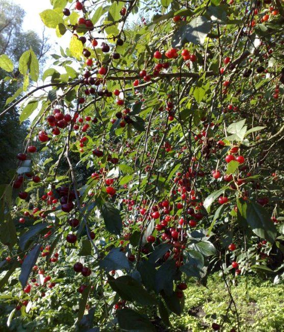 Небольшие плоды черешни на ветка дерева в плодовом саду загородного участка