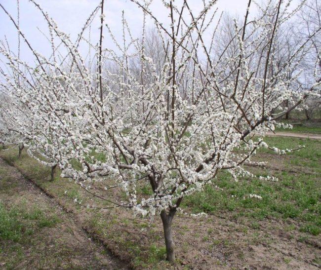 Несколько деревьев русской сливы в период цветения в начале мая