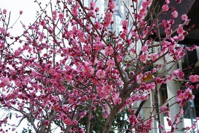 Розовые цветки на ветках китайской сливы в начале весны