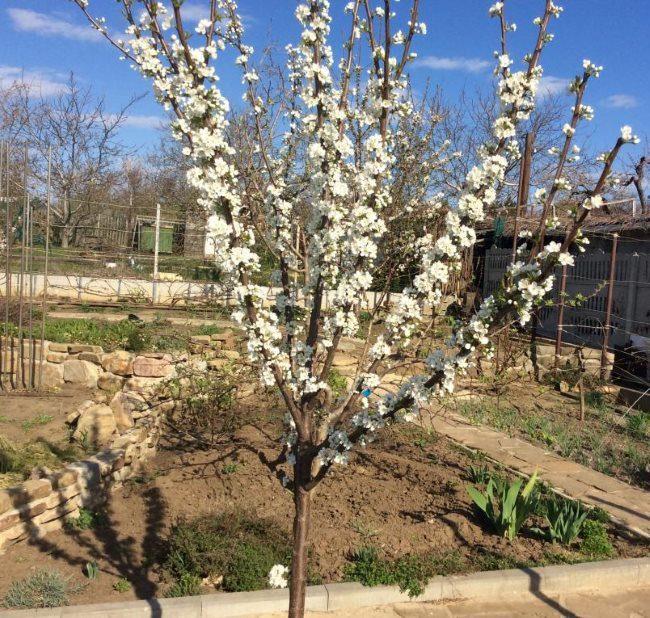 Белые цветки на ветка гибрида абрикоса со сливой ранней весной