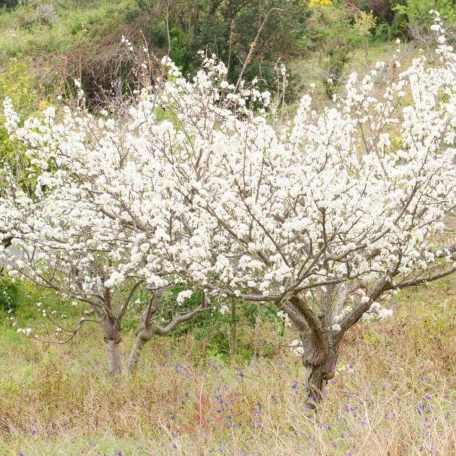 Обильное цветение рослых деревьев сливы в саду частного дома