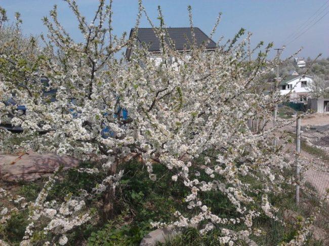 Обильное цветение сливового дерева средней высоты на садовом участке